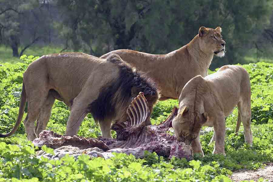 lions eating prey in food chain