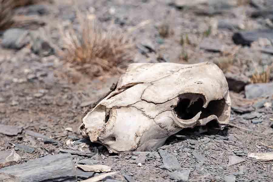 skull of dead cattle